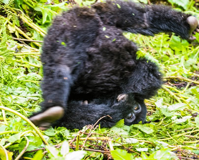 infant mountain gorillas in volcanoes national park rwanda